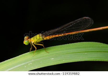 insect damselfly,Ceriagrion fallax Ris #119359882
