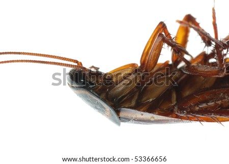 insect dead cockroach bug isolated on white