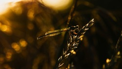 insect demoiselle against the light at sunset with an orange-yellow hue