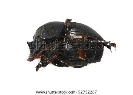 insect dung beetle isolated in white