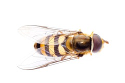 insect fly hover fly isolated on white