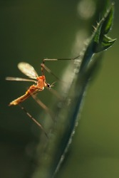 Insect from a family of Crane fly