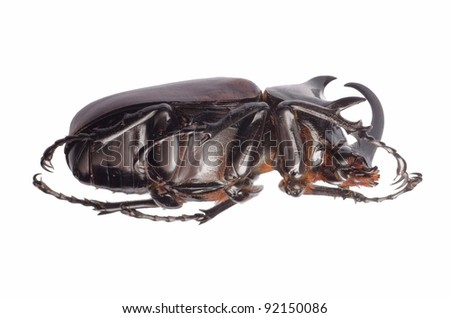 insect giant scarab rhino beetle Eupatorus sukkiti isolated