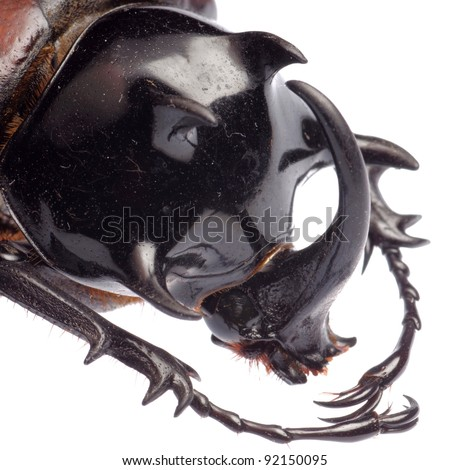 insect giant scarab rhino beetle Eupatorus sukkiti isolated