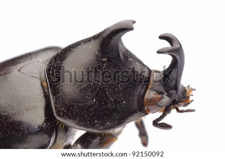 insect giant scarab rhino beetle Xylottrupes gideon isolated