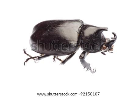 insect giant scarab rhino beetle Xylottrupes gideon isolated