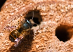 Insect hotel with wild solitary mason bee building nest in the hole drilled in the wood , detailed textured macro