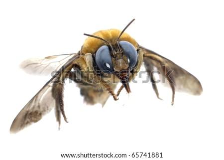 insect humble bee isolated on white background