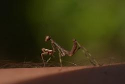 insect juvenile mantid mantis macro photography