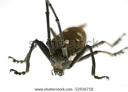 insect long horn beetle isolated - stock photo