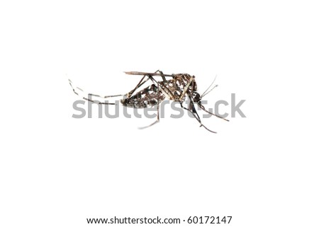 insect mosquito bug isolated on white background