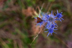 Insect on Eryngium amethystinum, also called amethyst eryngo, or Italian eryngo or amethyst sea holly