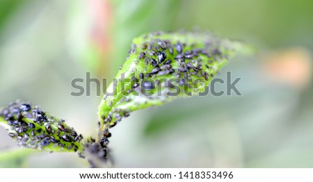 Insect pests, sour cherry leaf attacked by malicious insects image #1418353496