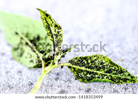 Insect pests, sour cherry leaf attacked by malicious insects image #1418353499