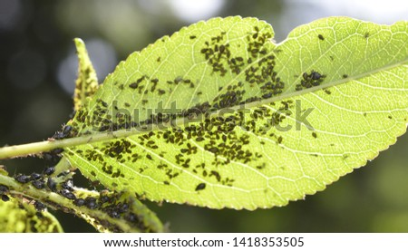 Insect pests, sour cherry leaf attacked by malicious insects image #1418353505