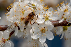 Insect, plant, spring, Germany - A honeybee collects nectar from a flowering plant on a sunny day in March.
