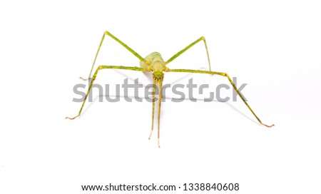Insect sticks Spanish isolated on white background. Exotic pet hand insect stick insect.  #1338840608