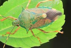 Insect.Stinkbug(Arthropoda: Insecta: Hemiptera: Pentatomidae:Eocanthecona formosa). On leaf. In Wufeng Township, Hsinchu County, Taiwan.