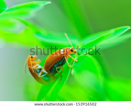Insect tortoise Golden Tortoise Beetle Beetles #153916502