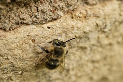 Insect - wild bee - honey bee