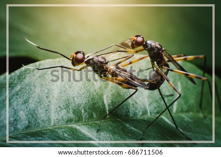 Insects are mating on leaves.Small winged animals are intertwined on green leave.Propagation of animals.Sexual reproduction. Foto stock ©