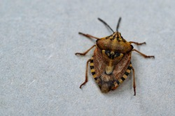 Insects are small.Brown marmorated stink bug Halyomorpha halys. On plain background with copyspace,on gray background close up.Insects are small