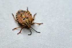 Insects are small.Brown marmorated stink bug Halyomorpha halys. On plain background with copyspace,on gray background close up.