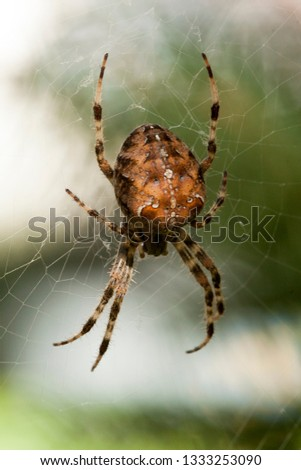 Stock Photo Insects Bugs Arachnida Aracnid Cross Spider Araneus diadematus