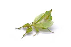 Insects / Bugs : Leaf insect (Phyllium bioculatum) or Walking leaves , green leaf insect isolated on white background , Rare and protected