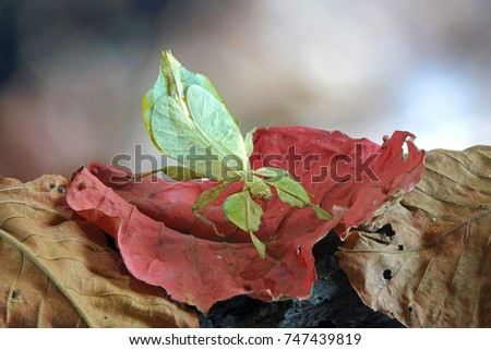 Insects / Bugs : Leaf insect (Phyllium bioculatum) or Walking leaves. Green leaf insect on red autumn leaves , Rare and protected. Selective focus , blurred background #747439819