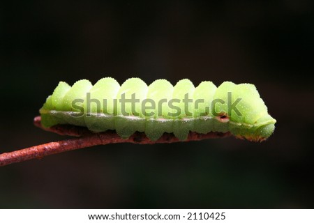 Insects - Green Caterpillar