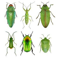 Insects green collection (beetles and bugs). Isolated on a white background. Macro