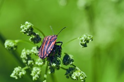 Insects in the wild. Striped bug or Italian striped bug, Minstrel bug (Graphosoma italicum, Graphosoma lineatum) walks on plant stem. Selective focus, macro, close-up.