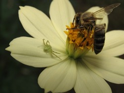 Insects on a flower, a melipona bee and a small spider