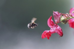 insects shaggy bumblebee flies to a flower of the watershed for the sweet nectar