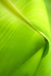 Inside a banana leaf