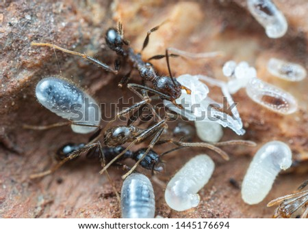 Inside a nest of Pheidole big-headed ants, with pupae, larvae and eggs, under a rock in tropical Australia #1445176694