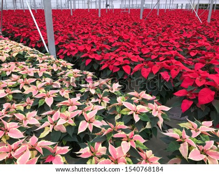 Inside greenhouse red and pink poinsettia flowering plants. Horizon landscape