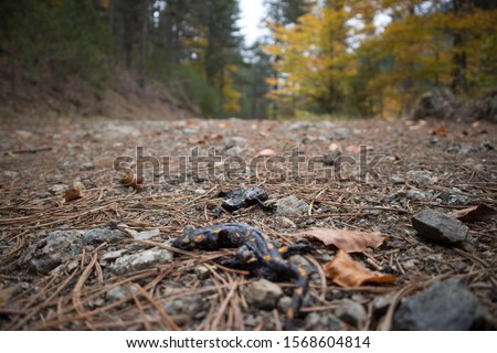 Inside Pindus National Park (Valia Calda). Somehow blurred photo of two killed fire salamanders, possibly from a truck. Blurred background.