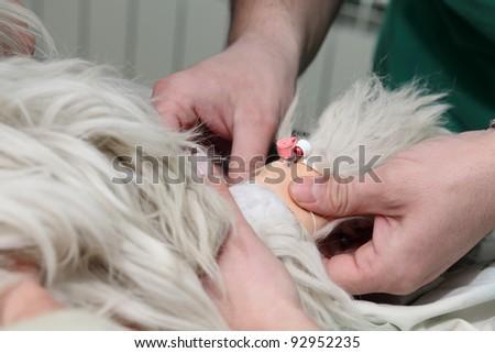 Installing anesthetic syringe before veterinary surgery - stock photo