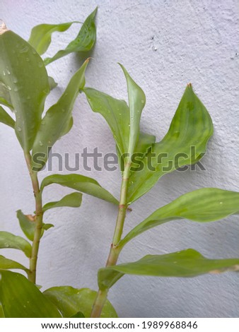 insulin plant used in diabetes to control glocose levels in blood.medicinal plant to control sugar levels .