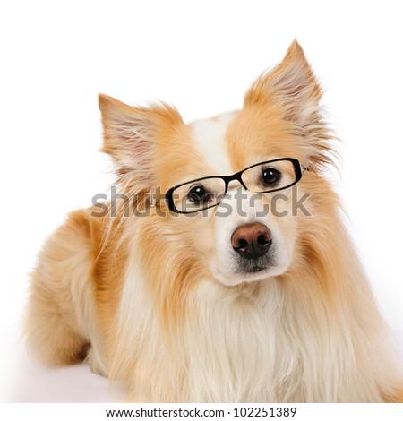 Intellectual dog - stock photo