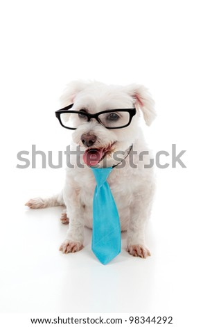 Intelligent looking maltese terrier wears a blue tie and black rim eye glasses.  White background.