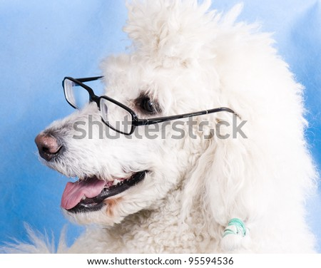 Intelligent poodle