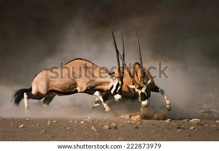 Intense fight between two male Gemsbok on dusty plains of Etosha