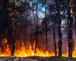 Intense flames from a massive forest fire. Flames light up the night as they rage thru pine forests and sage brush.