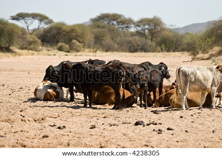 Intensive drought, Kalahari area, cattle extermination, farming series