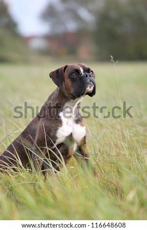 intent boxer dog