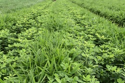 Inter cropping farm of Ginger and groundnut. Ground nut is legume crop helpful for nitrogen fixation. mix crops or crop rotation concept.