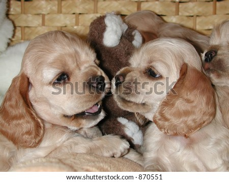 Cocker Spaniel Puppies on Interaction Between Two American Cocker Spaniel Puppies Stock Photo